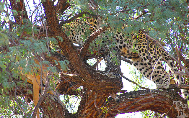 A rare sight - an elusive leopard with an antelope safely hidden in a tree