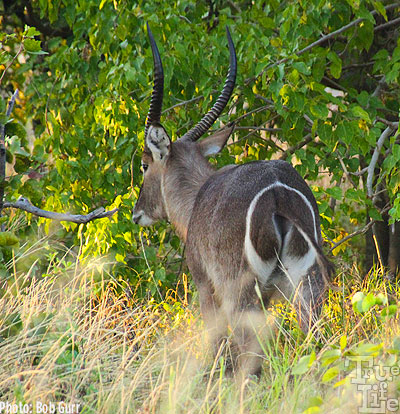 Waterbucks have very unique rear markings making then easy to identify