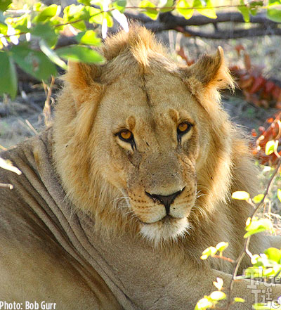 After his morning walk, the young male lion gives me gentle stare