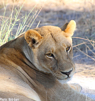 The male lion's sister chills out nearby in the cool morning air