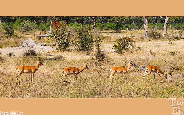 A male Impala herds his three females as they browse for food