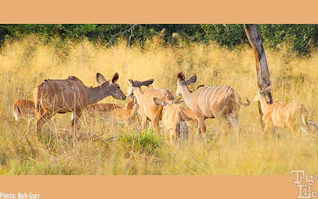 A family of female kudu, another species of medium sized antelope