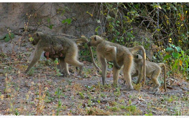 Baboon babies ride underneath their mothers - hang on for dear life