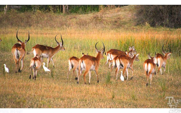 Lechwe travel in large herds