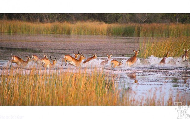 Lechwe are marsh antelopes that prefer to stay in water for protection