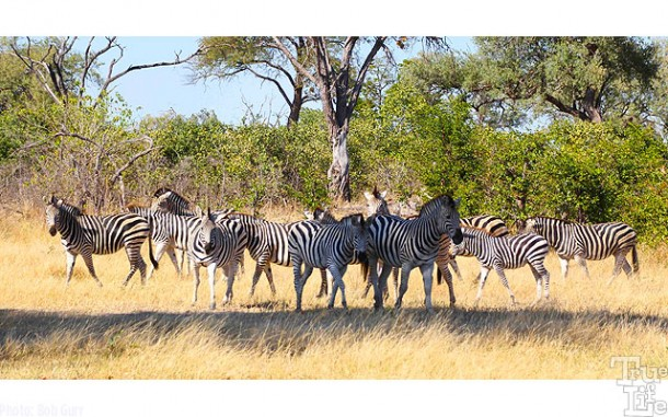 A beautiful herd of zebra - they can be found in most open areas