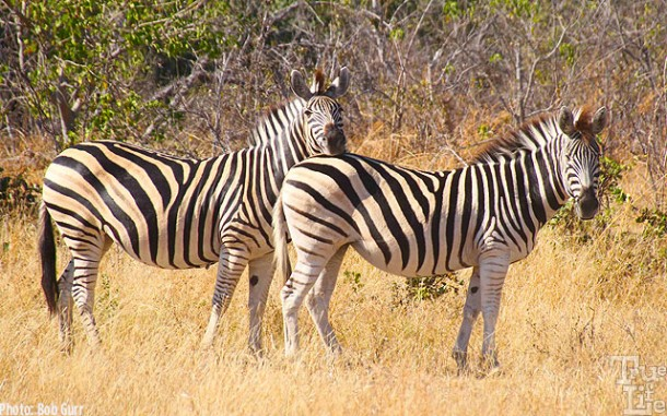 Note how one zebra uses the back of another as a head rest