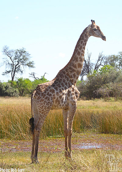 The giraffe is certainly the most unique of land mammals