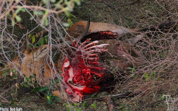 This antelope was dinner for a male leopard