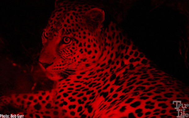 Rangers use a red spotlight to view animals at night - it does not bother them