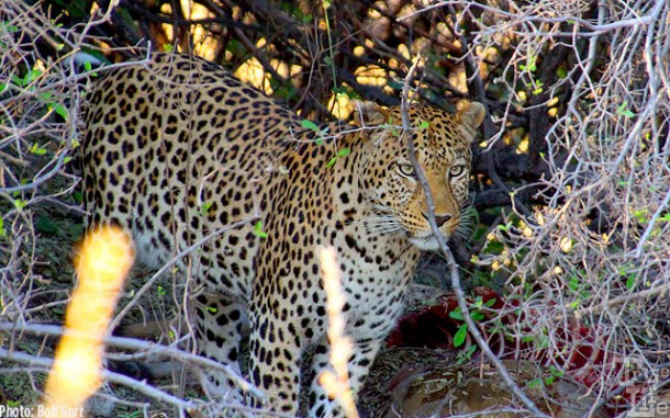 The leopard guards his hidden kill from thieving hyenas and vultures