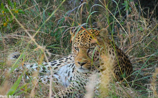 This male leopard allowed Land Rovers and humans to come within 10'