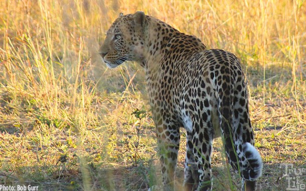 A leopard on the prowl for a kill - leopards lead solitary lives alone