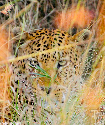 One could walk up to within 2' of a leopard in the grass and never see it