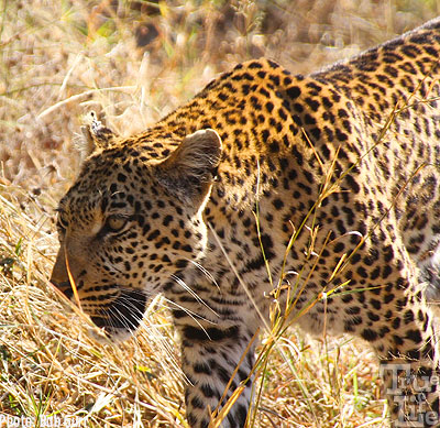 Amazing how close one can approach a leopard - but only in a vehicle!