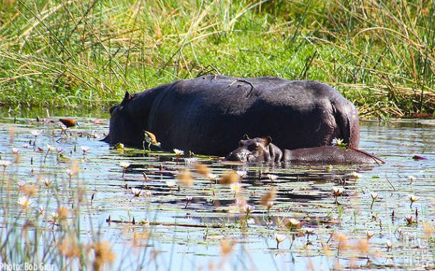 Hippo mother with her baby