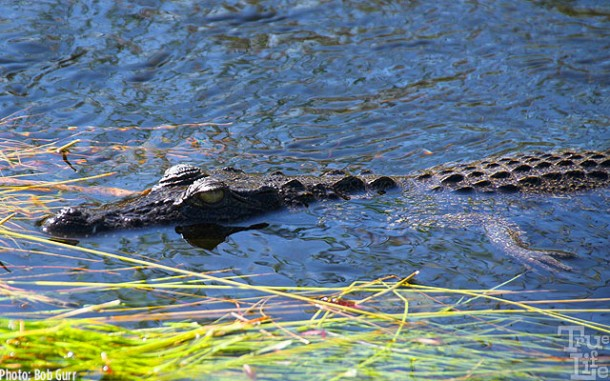 Small alligators are found in the reeds waiting for prey to be snapped up