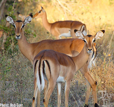 Female impala cast a wary eye at the game drive vehicles