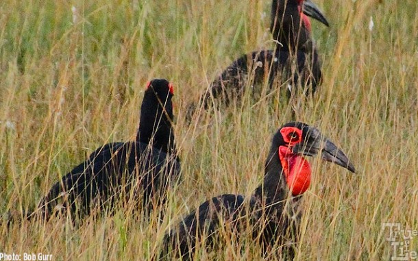 The ground hornbill is easy to find with it's bright red breast pouch