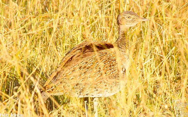 This little sand grouse is almost invisible in similar colored grass