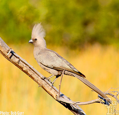 The grey go-away birds make a loud fuss whenever predators are near