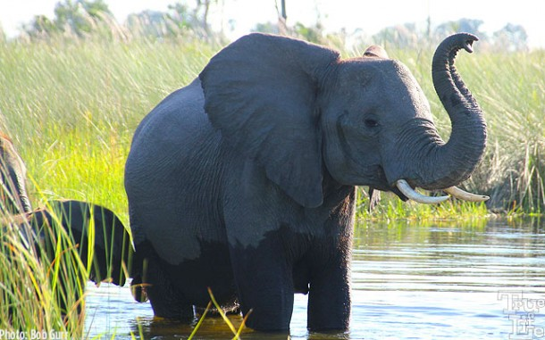 Elephants raise their trunks to better pick up scents of approaching threats