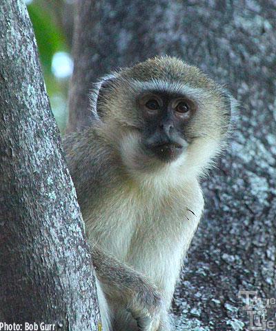 Vervet monkeys scamper all over the camp stealing food