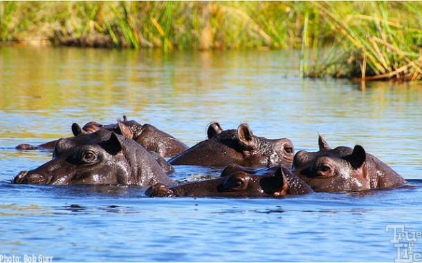 Hippos are everywhere in the ponds and rivers in the Xigera wetlands