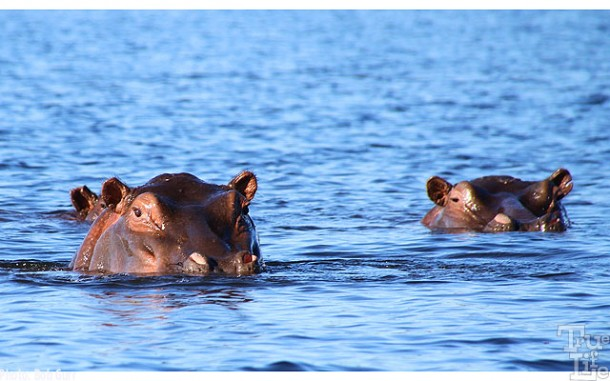 When one is in a canoe, it's a bit spooky to get this close to any hippo