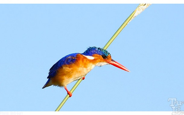 The malachite kingfisher is very tiny but so colorful - everyone's favorite