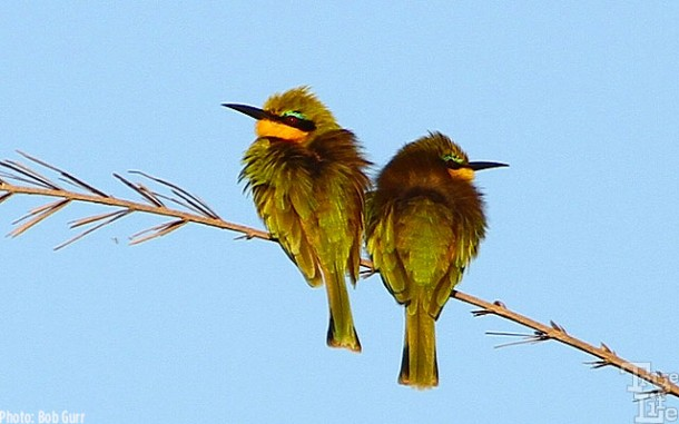 A pair of cute little bee eaters
