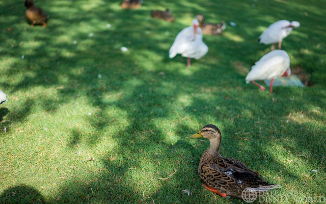 The 2015 Epcot Duck and Bird Festival.